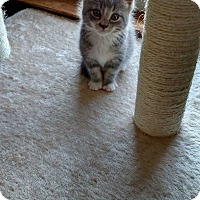 Domestic Shorthair Kitten for adoption in Linwood, Michigan - Philip