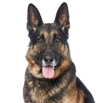 German Shepherd Dog Mix Dog for adoption in Burbank, California - Coronado