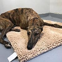 Adopt A Pet :: Gunnar - Kansas City, MO