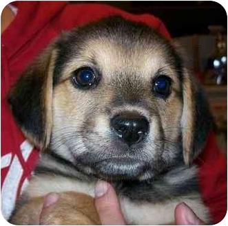 Beagle/Shepherd (Unknown Type) Mix Puppy for adoption in Portland, Oregon - Lexus