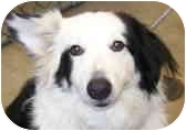 """Border Collie Mix Dog for adoption in Minerva, Ohio - Sir Bentley """"ADOPTED"""""""