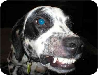Dalmatian/Beagle Mix Dog for adoption in Milwaukee, Wisconsin - Tiny Tim
