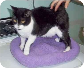 American Shorthair Cat for adoption in Jacksonville, North Carolina - Bandit
