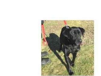 Labrador Retriever Mix Dog for adoption in North Kingstown, Rhode Island - DUKE