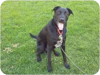 Labrador Retriever/Border Collie Mix Dog for adoption in Bay City, Michigan - Oakley~~ADOPTED~~