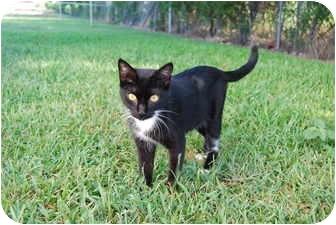 Domestic Shorthair Cat for adoption in Bunkie, Louisiana - Elvira