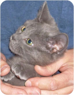 Domestic Shorthair Kitten for adoption in Mt. Prospect, Illinois - Tiny