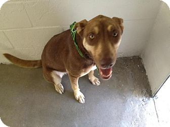 Shepherd (Unknown Type)/Husky Mix Dog for adoption in Winter Haven, Florida - Kate