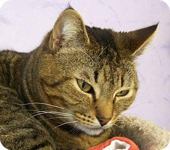 Domestic Shorthair Cat for adoption in Grants Pass, Oregon - Jeffrey