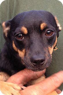 Miniature Pinscher/Dachshund Mix Dog for adoption in Gainesville, Florida - Pickle
