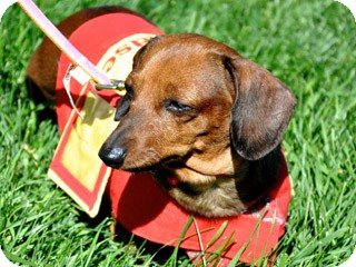 Dachshund Mix Dog for adoption in Great Falls, Montana - Jessie