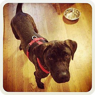 Plott Hound Dog for adoption in Brooklyn, New York - Ladybug