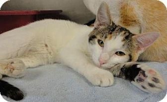 Calico Cat for adoption in Jacksonville, Arkansas - Venus