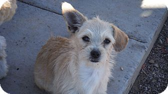Terrier (Unknown Type, Small) Mix Puppy for adoption in Arenas Valley, New Mexico - Addie and Buster