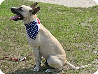 Great Dane/Belgian Malinois Mix Dog for adoption in Port St. Joe, Florida - Koda