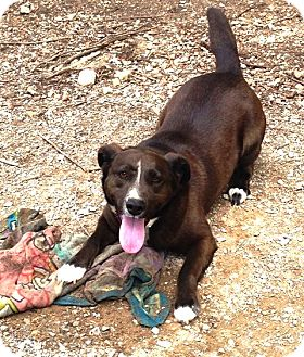 Labrador Retriever/Jack Russell Terrier Mix Dog for adoption in Radford, Virginia - Brady