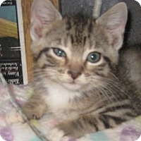 Adopt A Pet :: Foxy Silver Paws - Dallas, TX