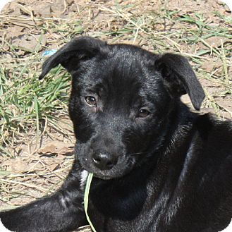 Labrador Retriever/Cattle Dog Mix Puppy for adoption in Marion, Arkansas - Brett