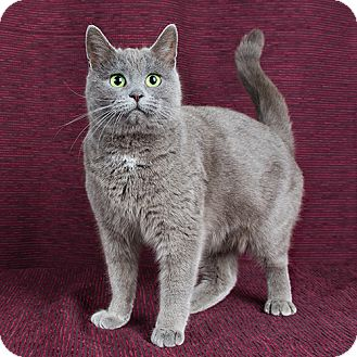 Domestic Mediumhair Cat for adoption in Wilmington, Delaware - Noel