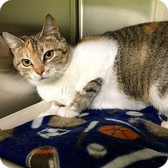 British Shorthair Cat for adoption in Greenville, North Carolina - Saffron