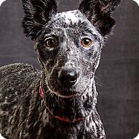 Adopt A Pet :: Kate - Owensboro, KY