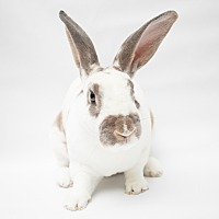 Rex Mix for adoption in Los Angeles, California - Rexit