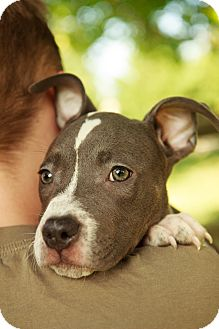 American Pit Bull Terrier Mix Puppy for adoption in Reisterstown, Maryland - Klinger