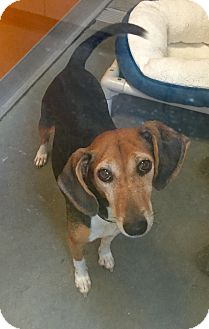 Beagle Mix Dog for adoption in Wilmington, Delaware - Reagan *NEEDS FOSTER*