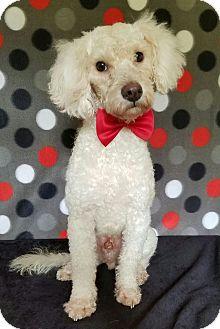 Poodle (Miniature) Mix Dog for adoption in San Antonio, Texas - Fozzy Bear
