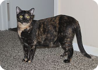 Domestic Shorthair Cat for adoption in Nolensville, Tennessee - Zeena