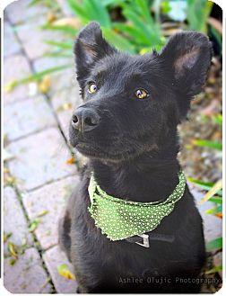 Australian Shepherd Mix Dog for adoption in Scottsdale, Arizona - Sky