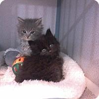 Adopt A Pet :: Velvet Sisters-Adopt Pending - Arlington, VA