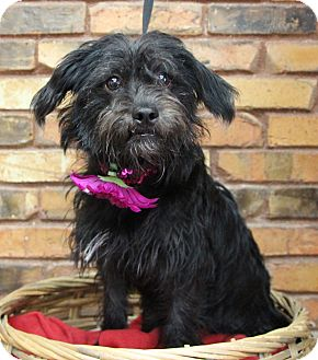 Terrier (Unknown Type, Small) Mix Dog for adoption in Benbrook, Texas - Lula May