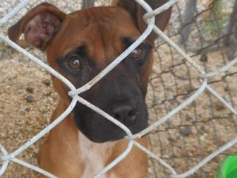 American Pit Bull Terrier Mix Dog for adoption in Opelousas, Louisiana - Lucas
