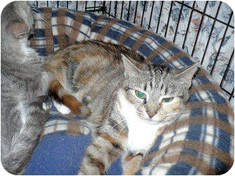 Calico Cat for adoption in Colmar, Pennsylvania - Tinkerbell
