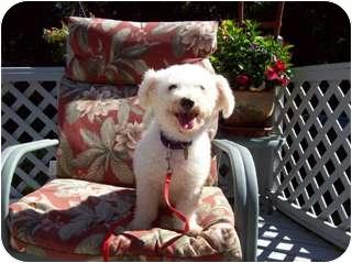 Bichon Frise Dog for adoption in Oak Ridge, New Jersey - Noodles