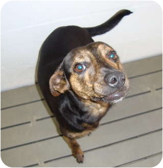 Jack Russell Terrier Mix Dog for adoption in Winter Haven, Florida - Blackie