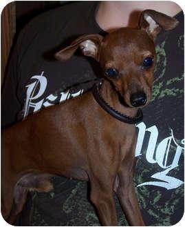 Miniature Pinscher Dog for adoption in Owatonna, Minnesota - Little Man