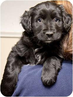 Spaniel (Unknown Type) Mix Puppy for adoption in Mt. Prospect, Illinois - Poseidon