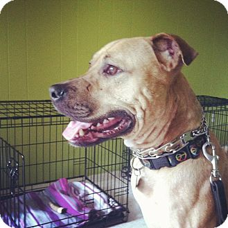 American Pit Bull Terrier Mix Dog for adoption in Providence, Rhode Island - Bubba