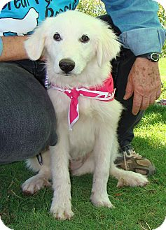 Great Pyrenees Puppy for adoption in Tulsa, Oklahoma - Lillian  *Adopted