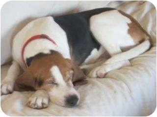 Treeing Walker Coonhound Mix Dog for adoption in Hazel Park, Michigan - Dudley