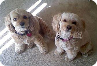 Cockapoo Mix Dog for adoption in Toluca Lake, California - Keppie & Shana--A Pair