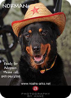 German Shepherd Dog/Rottweiler Mix Dog for adoption in Okatie, South Carolina - NORMAN