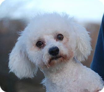 Bolognese Dog for adoption in Providence, Rhode Island - Romeo