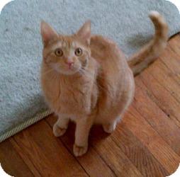 Domestic Shorthair Cat for adoption in Kensington, Maryland - Orville