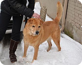 Shar Pei/Golden Retriever Mix Dog for adoption in Hamilton, Ontario - Jase