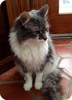 Norwegian Forest Cat Cat for adoption in Naperville, Illinois - Bethany