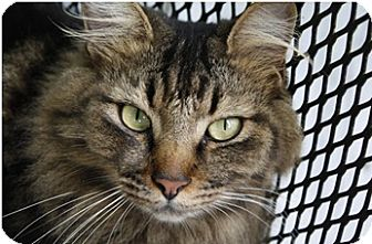 Norwegian Forest Cat Cat for adoption in Birmingham, Alabama - Bandit - ADOPTION PENDING