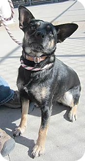 Australian Kelpie/Terrier (Unknown Type, Medium) Mix Dog for adoption in Fort Collins, Colorado - Olivia